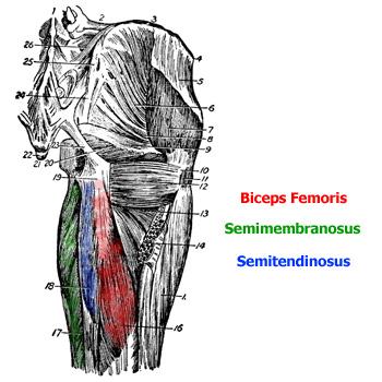 biceps femoris, semitendinozus, semimembranozus