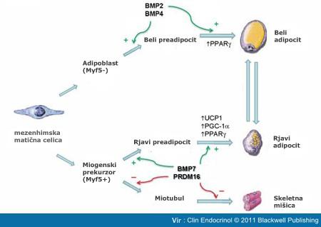 Razvojni poti bele in rjave maščobne celice
